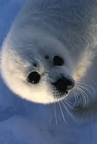 Baikal Explorer - Lake Baikal Seals - NERPA